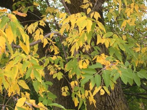 Ulmus Americana Twig Acer negundo
