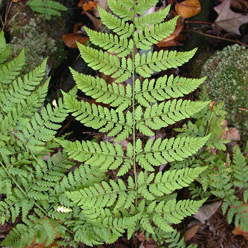 Fern life cycle « Botany Blog