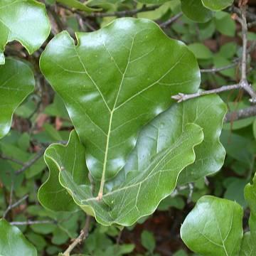 Quercus nigra L  - Water OakQuercus Nigra