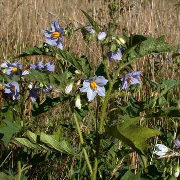 AMC-NH | Solanum carolinense Gallery & Guide