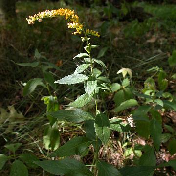 Solidago ulmifolia (elm-leaved goldenrod): Go Botany
